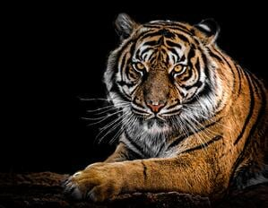 close-up-photography-of-tiger-792381